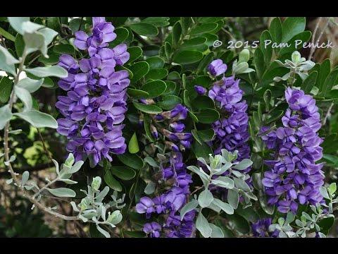 Purple flowering tree austin tx flowers ideas youtube purple flowering tree austin tx flowers ideas mightylinksfo