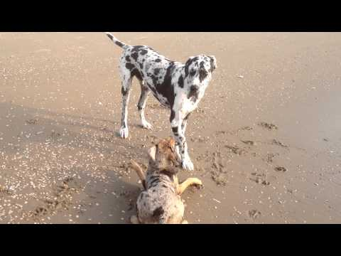 Catahoula Leopard Dog - Dayton Playing with great Dane