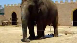 Elefant auf Mallorca im Safaripark Cala Millor macht Pipi & Kaka
