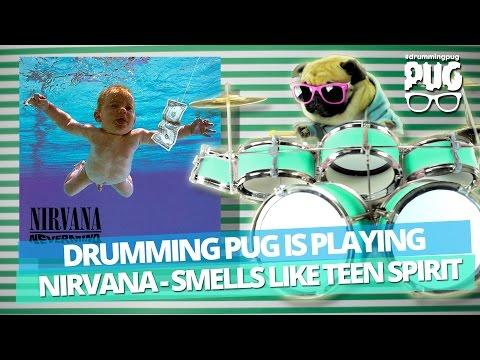 Drumming Pug - Nirvana  Smells Like Teen Spirit