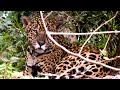 Onça-pintada do Pantanal