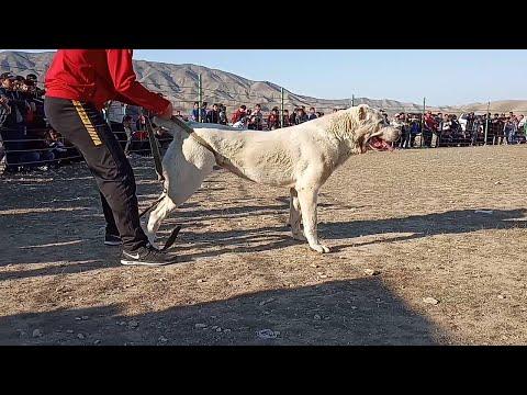 Турнир Тест Испытаний Балканабад обзор собак Turkmen It alabay Central Asian Test Work Dogs Alabai