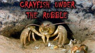 Ловля раков от первого лица в норах и в топляках.To catch crayfish hands