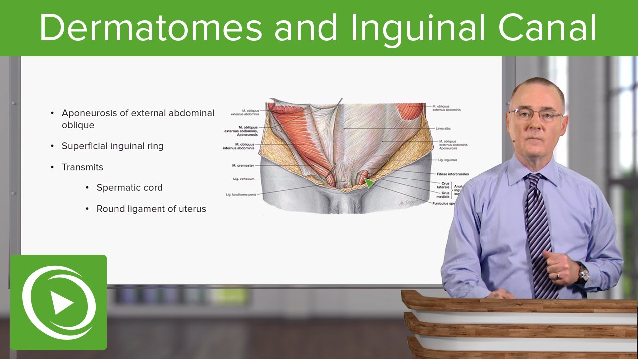Dermatomes and Inguinal Canal – Anatomy | Lecturio