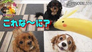 検証・犬の反応☆うちはバナナを食べる習慣がないため、生まれて初めてバ...