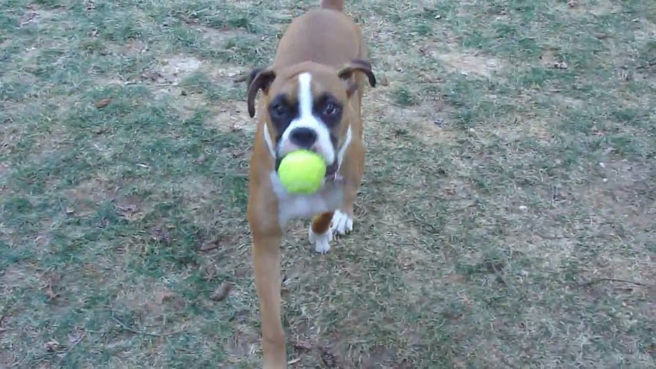 Indiana Boxer Puppy 9 Months Old Hd 720p Video Test Youtube