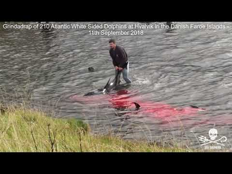Grindadrap hunt of 210 Atlantic White Sided Dolphins at Hvalvik, Faroe Islands - 11th September 2019