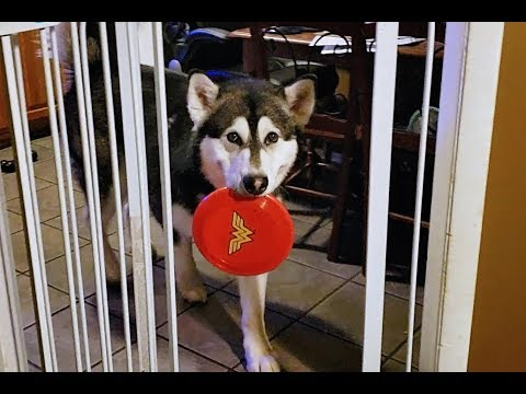 Funny Dog Brings Wonder Woman Shield For Cookies