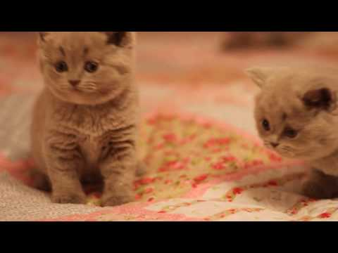 British shorthair kittens, color faun, lilac.