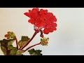 Painting Geraniums in Watercolor