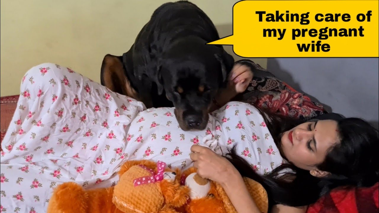 my dog is taking care of my pregnant wife||cute dog videos