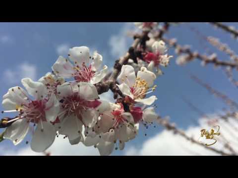 Background hoa đào trắng ngày tết 4