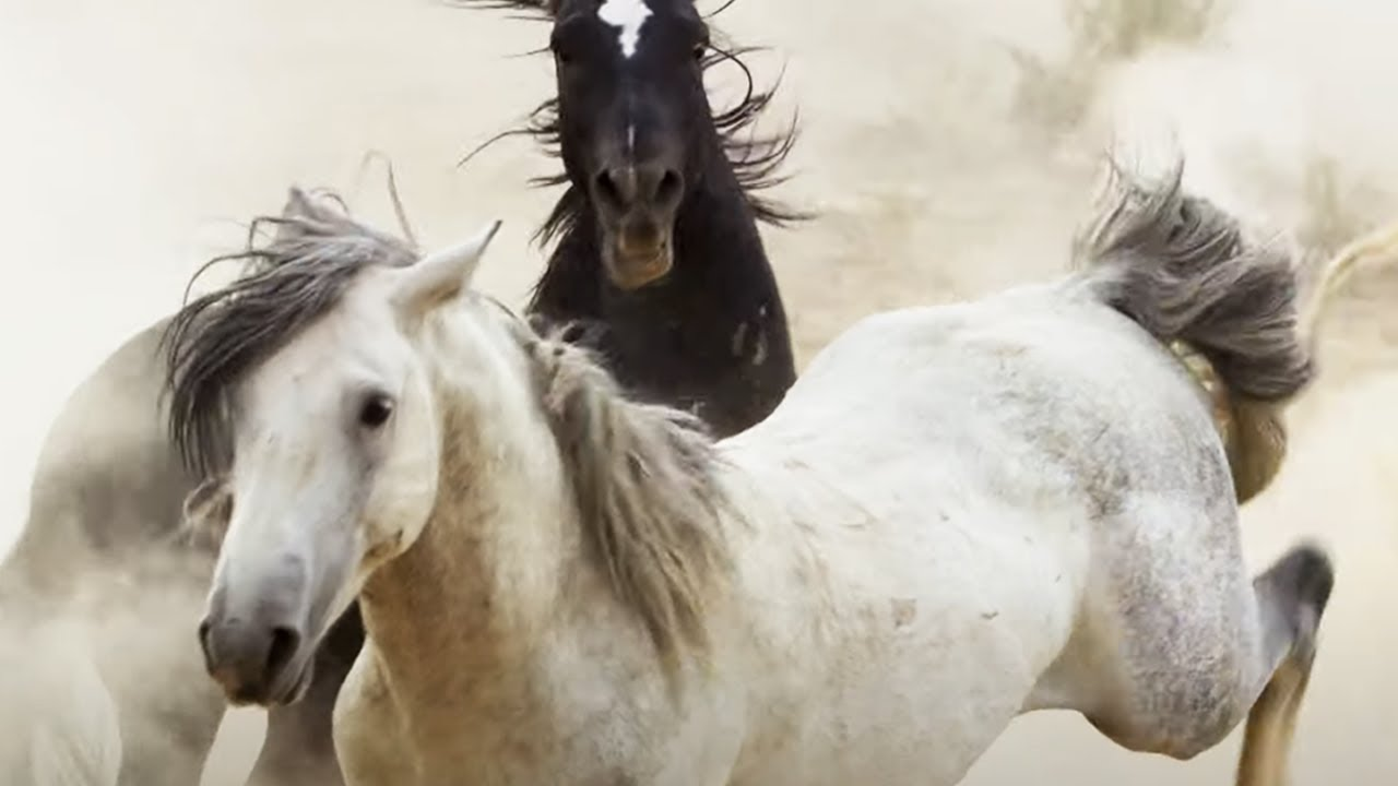 Brutal Stallion Mating Fight | Planet Earth II | BBC Earth