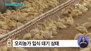 [JTV 8 뉴스] 닭·오리 농가, 입식 못해 다시 '…