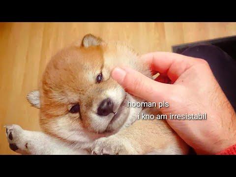 Chubby cheeks / Shiba Inu puppy