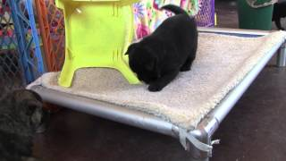 This is a video of Kai Ken (甲斐犬) Ayu's first litter at 30 days o...