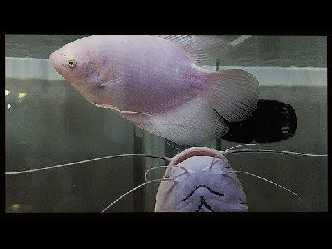"""did-the-catfish-eat-the-giant-gourami?"""