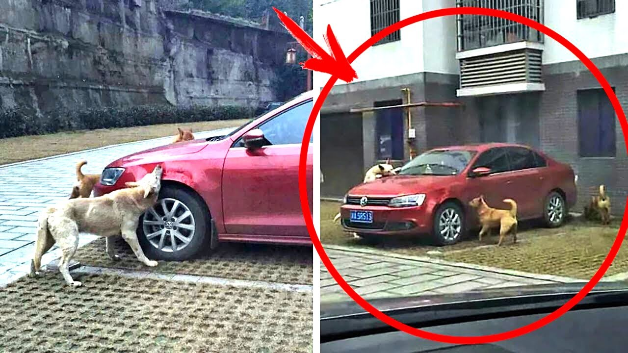 سائق مخمور ضرب كلب وترك السيارة وعندما عاد كانت المفاجاة ..!!