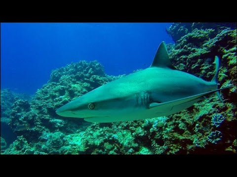 DIVING WITH SHARKS IN MAURITIUS 4K