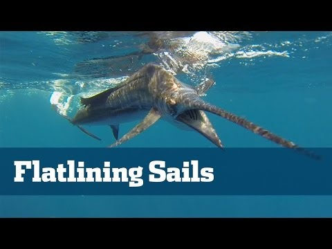 Sailfish; How To Catch Sailfish - Florida Sport Fishing TV