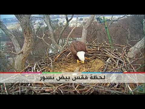 بي_بي_سي_ترندينغ: لقطات فيديو للحظة فقس فرخي نسور من البيض  - نشر قبل 9 دقيقة
