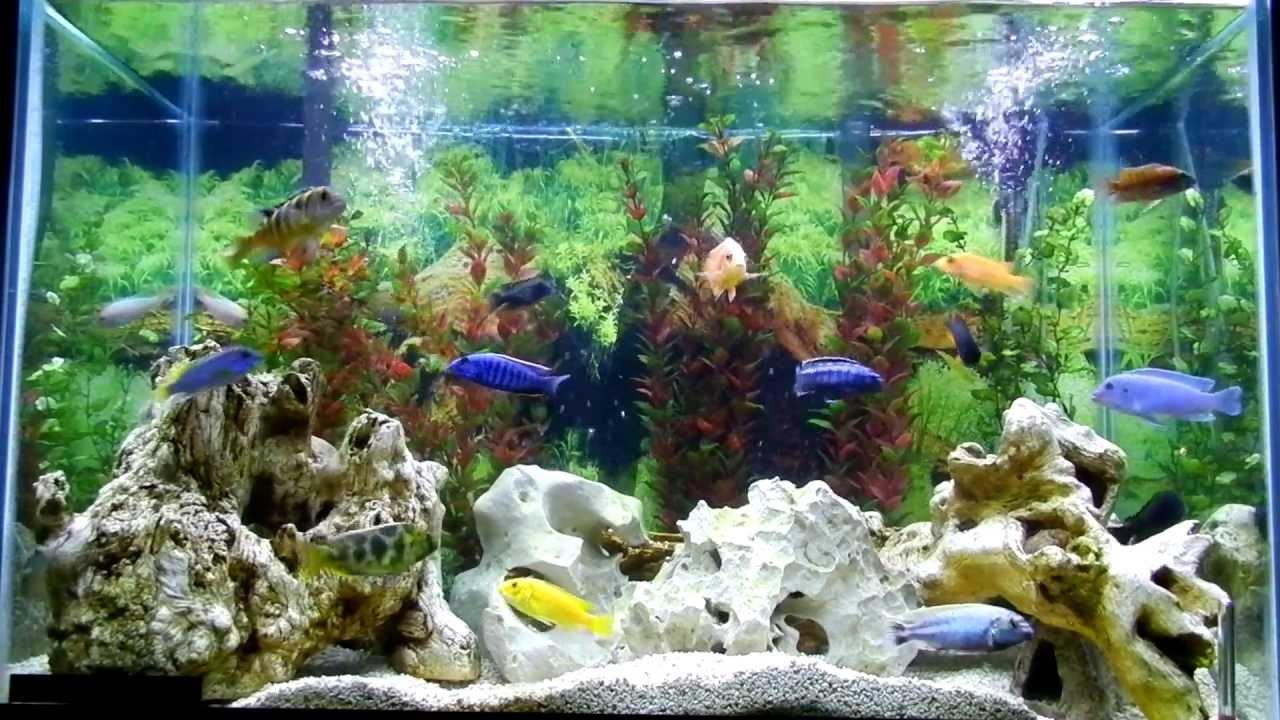 65 Gallon Cichlid Tank Aquarium Mixed Malawi Youtube