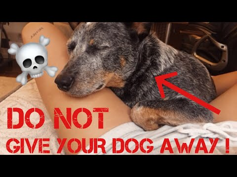 Can't Handle an Australian Cattle Dog? DON'T GET ONE !