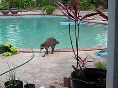 Raccoon Swimming In The Pool Youtube