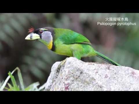 馬來西亞鳥攝之旅 Malaysia Bird photography 2017