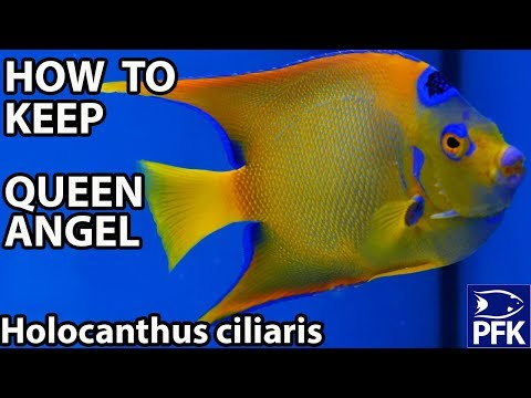 HOW TO KEEP QUEEN ANGELFISH (Holocanthus Ciliaris)