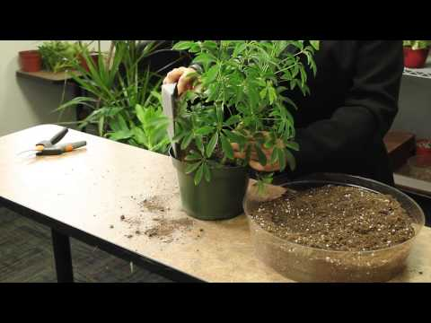 How to Plant an Arboricola : Gardening & Plant Care