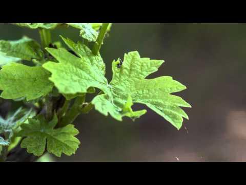 Vineyard Leaf Timelapse