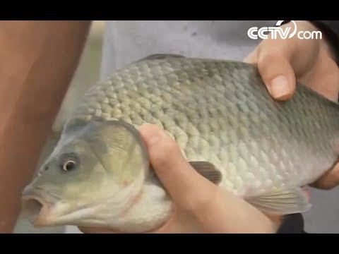 Multi-millionaire Fish Farmer | CCTV English