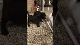 Labradoodle puppies love play time