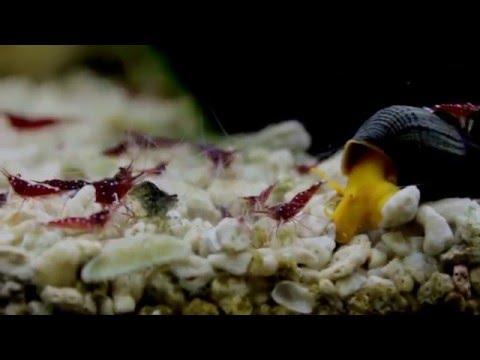 Cardinal Sulawesi & Golden Rabbit Snail