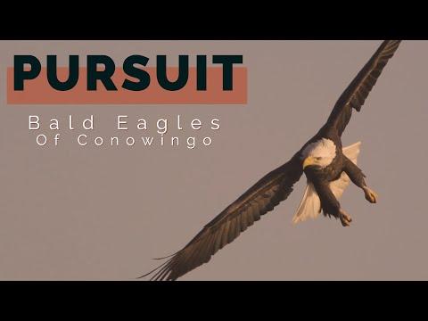 Bald Eagles: