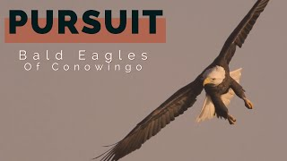 "Bald Eagles: ""Pursuit"" Bald Eagles of Conowingo Dam, short film"