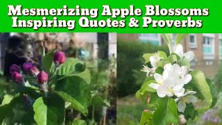 Apple Blossoms / Gardening Quotes and Proverbs / Lord Lambourne and Gala Apple Blossoms