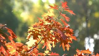 Música celestial, violín y violonchelo, película de relajación escénica, follaje de otoño 4k