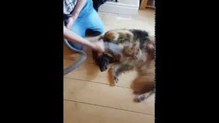 Dog Grooming with a Vacuum || ViralHog