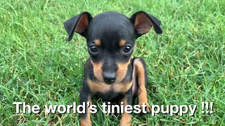 Tiny miniature pinscher puppy (Black Tan)