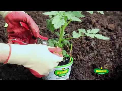 how-to-plant-tomatoes