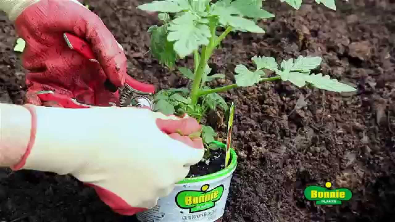Download How to Plant Tomatoes