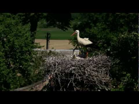 White storks always come back...