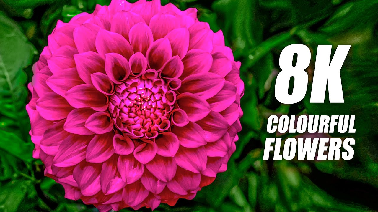 Colourful Flowers Collection in 8K VIDEO ULTRA HD 60FPS