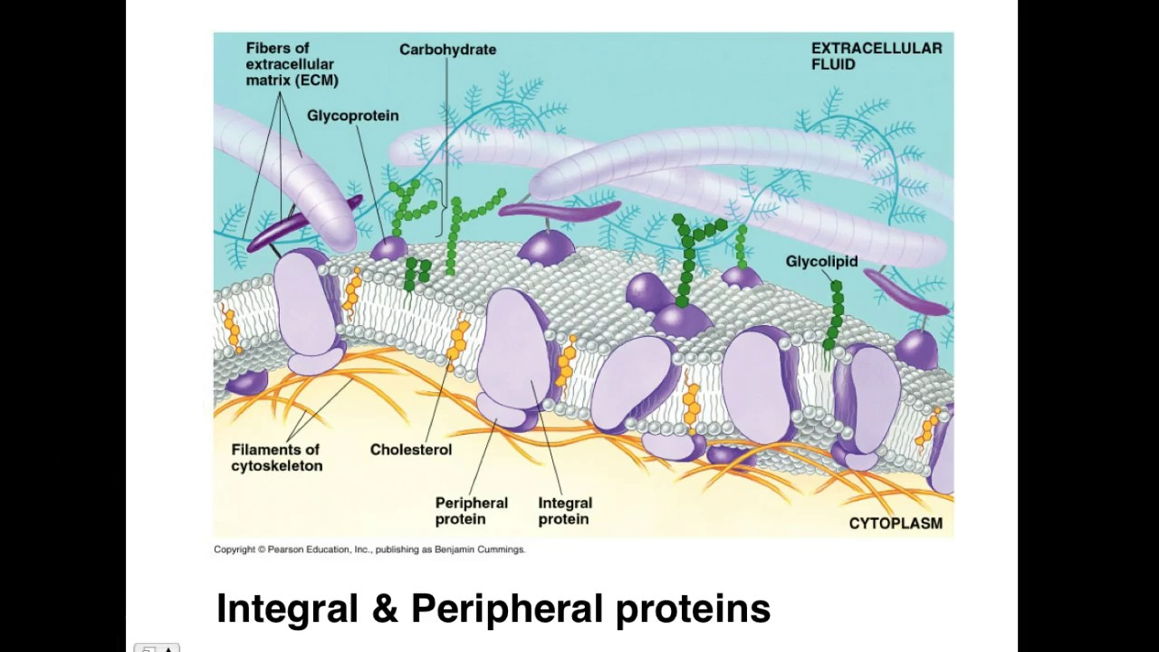 ap biology membrane structure and cell dynamics full lectur [ 1280 x 720 Pixel ]