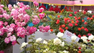 BEAUTIFUL ROSE GARDEN. FLOWER SHOW.PART-1