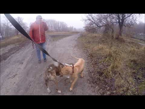 Амстаффтерьер и Кане Корсо/Amstaffterrier and Cane Corso