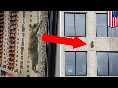 Raccoon Caught Climbing 23 Stories Up A Building