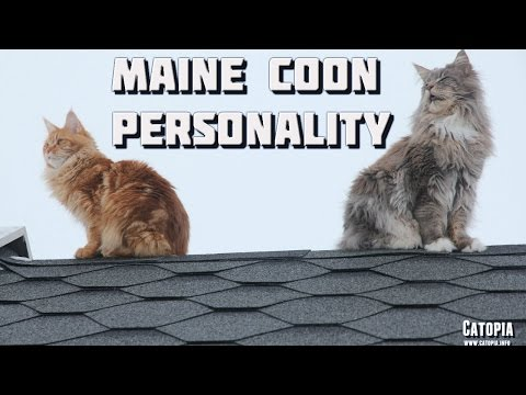 Maine Coon Compilation - Maine Coons showing the amazing Maine Coon personality